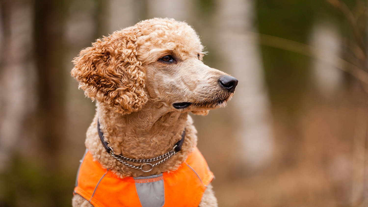 The Poodle, The Underrated Hunting Dog
