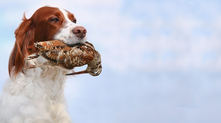 Gundogs are the Best Dogs