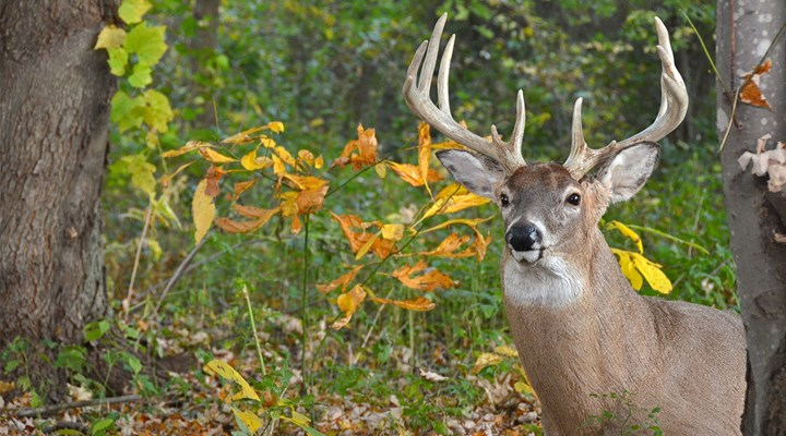 What Do Bucks and Velvet Have in Common?