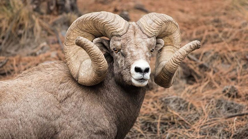 Montana Bighorn Sheep Confirmed New B&C World Record