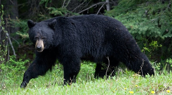 American Hunter: Tips and Tactics for a DIY Western Spring Black Bear Hunt