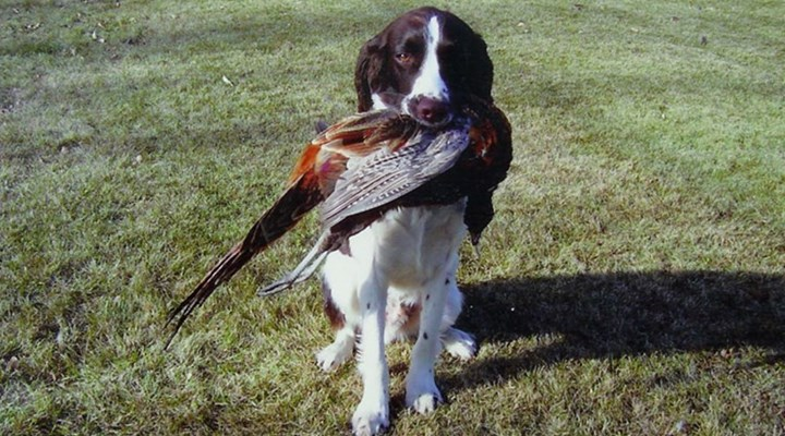 NRA Family: What You Need To Know About Gundogs as Pets