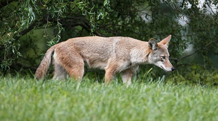 American Hunter: Know-How: The Earlier, the Better for Predators