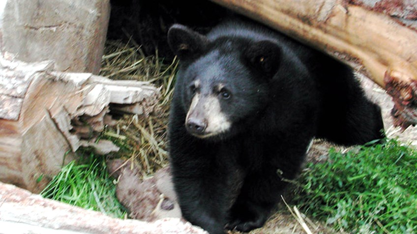 All About Black Bears