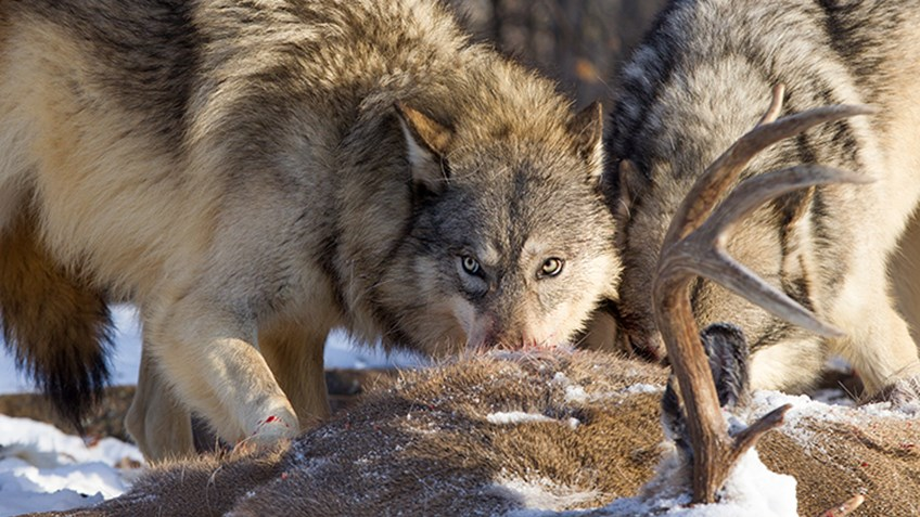 Wyoming Expands Wolf Hunting Season