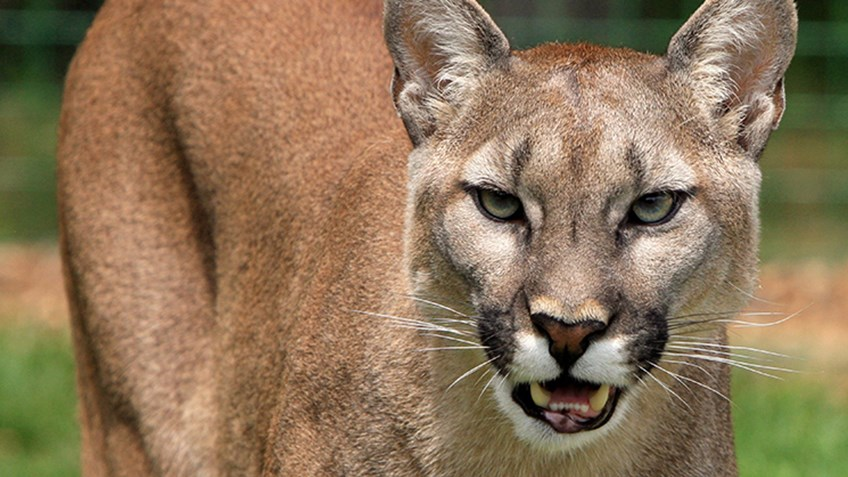 Nebraska Approves Mountain Lion Hunting Season