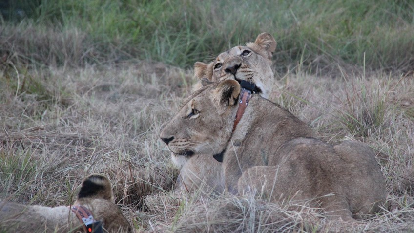 Hunter Funding Supports Massive Lion Conservation Effort